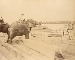 Elephants stacking squared logs [Burma]